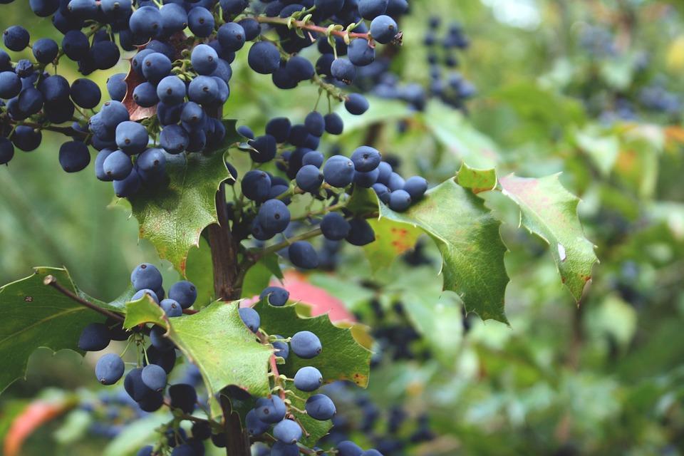 Blueberries -Brain Food